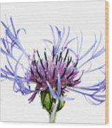 Mountain Cornflower (centaurea Montana) Against White Background Wood Print