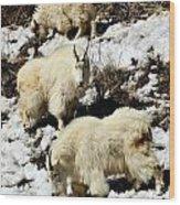 Mountain Goat Trio Wood Print
