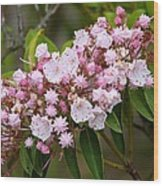 Mountain Laurel Blooming Wood Print
