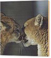 Mountain Lion Felis Concolor Cub Wood Print by David Ponton
