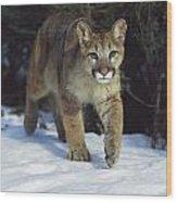Mountain Lion Felis Concolor Idaho, Usa Wood Print