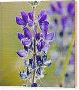 Mountain Lupine Glacier National Park Wood Print