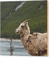 Mountain Sheep 1639 Wood Print