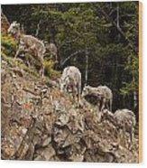 Mountain Sheep 1668 Wood Print