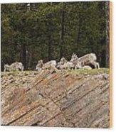 Mountain Sheep 1673 Wood Print