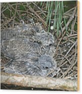 Mourning Dove Chicks Wood Print