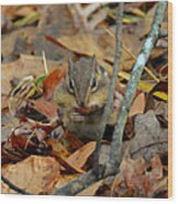 Mouth Full Chipmunk - C3029d Wood Print