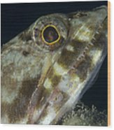 Mouth Of A Variegated Lizardfish, Papua Wood Print