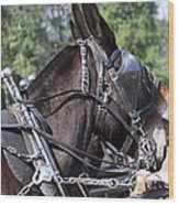 Mule Days - Benson - A Pair Of Aces - Mules Wood Print