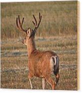Mule Deer Buck In An Alberta Field Wood Print