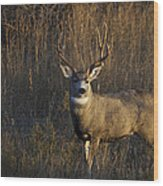 Mule Deer Buck Wood Print