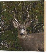Mulie Buck Wood Print