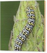 Mullein Moth Caterpillar Wood Print