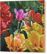 Multi-colored Tulips In Bloom Wood Print