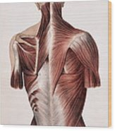 Muscles Of The Back Wood Print