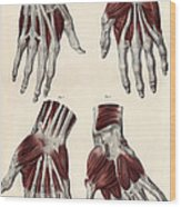 Muscles Of The Hand Wood Print