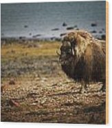 Muskox Ovibos Moschatusin The Northwest Wood Print