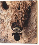 Mustached Mud Bee Wood Print