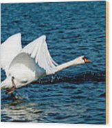 Mute Swan Gaining Momentum Wood Print