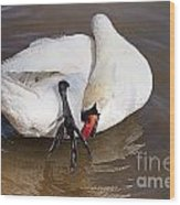 Mute Swan Grooming In Shallow Water 2 Wood Print