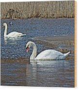 Mute Swans On A Cape Cod Pond - Cygnus Olor - Quissett  Massachusetts Wood Print