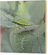 My Pretty Green Stink Bug Wood Print