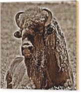 Napping Bison Wood Print