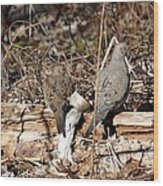 Napping Doves Wood Print