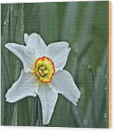 Narcissus In The Rain Wood Print