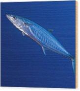 Narrow Barred Spanish Mackerel Wood Print