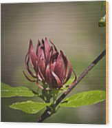 Native Sweetshrub Wood Print