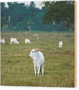 Nelore Beef Cattle Wood Print