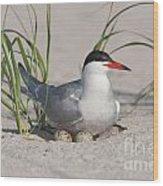 Nesting Common Tern Wood Print