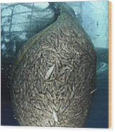 Net Full Of Ikan Puri, A Small Anchovy Wood Print