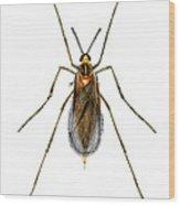 Nettle Gall Midge Wood Print