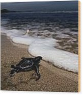 Newly Hatched Leatherback Turtle Wood Print