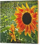 Noontime Sunflowers Wood Print