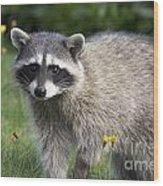 North American Raccoon Wood Print