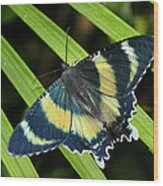 North Queensland Day Moth Alcides Wood Print