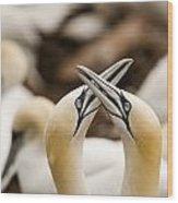 Northern Gannets Morus Bassanus Rubbing Wood Print
