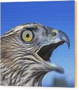 Northern Goshawk With Open Beak Wood Print