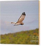Northern Harrier Flight Wood Print