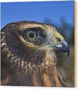 Northern Harrier Raptor In Profile Wood Print
