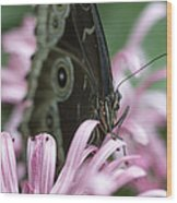 Northern Pearly-eye On Pink Wood Print