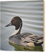 Northern Pintail Duck  Wood Print
