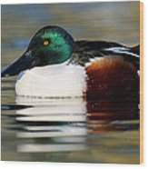 Northern Shoveler Anas Clypeata Male Wood Print