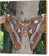 Not A Butterfly But An Atlas Moth Wood Print