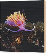 Nudibranch Brightly Colored Arctic Ocean Wood Print by Flip Nicklin
