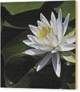 Nymphaea Marliacea 'albida' Wood Print