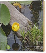 Nymphaea Odorata In Yellow Wood Print